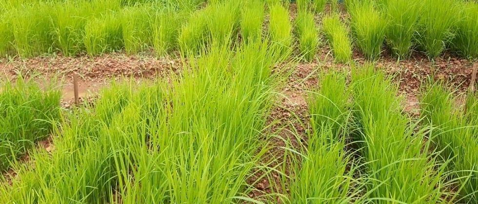 'भात शेती साठी गुणवत्तापूर्ण आणि खात्रीपूर्वक रोपांची निवड महत्त्वाची'