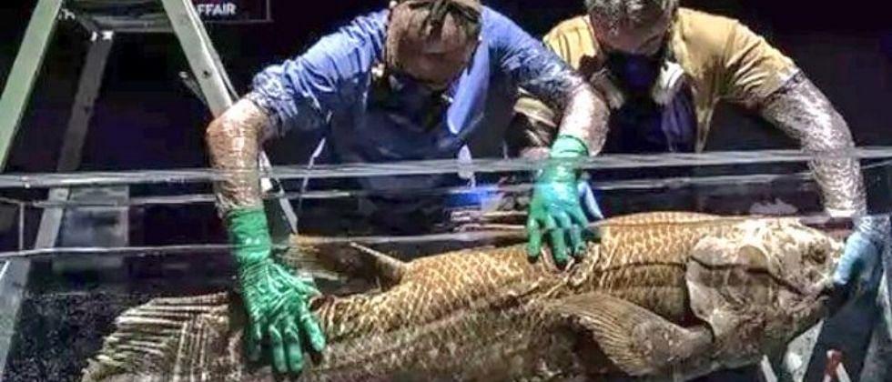 Coelacanth: 42 कोटी वर्ष जुन्या माशांचा लागला शोध, 100 वर्ष जगतात, 5 वर्ष गर्भवती राहतात