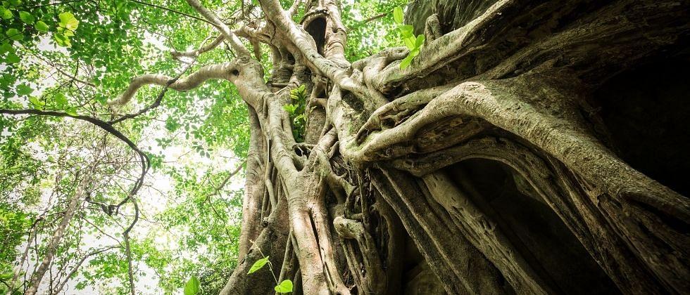 होळयेच्या देवराईची खरी शान होती महाकाय वृक्ष!