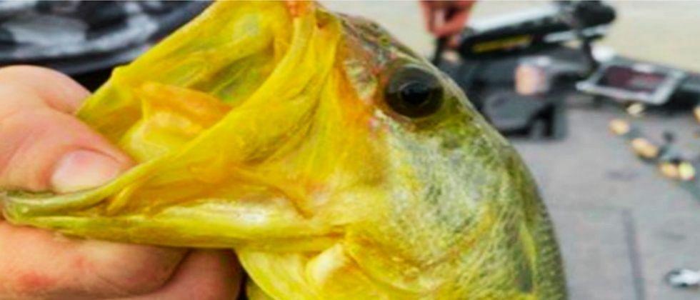 Golden Fish: मौल्यावान मासा खराब समजून पाण्यात फेकला, अन् नंतर समजले...