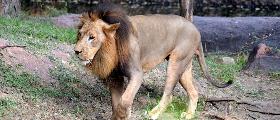 हैदराबादमधल्या 8 सिंहांना कोरोनाची लागण!