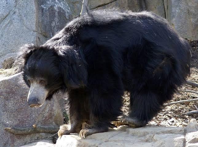 पट्टेरी वाघानंतर सत्तरीत अस्वलांचा लोकवस्तीत संचार