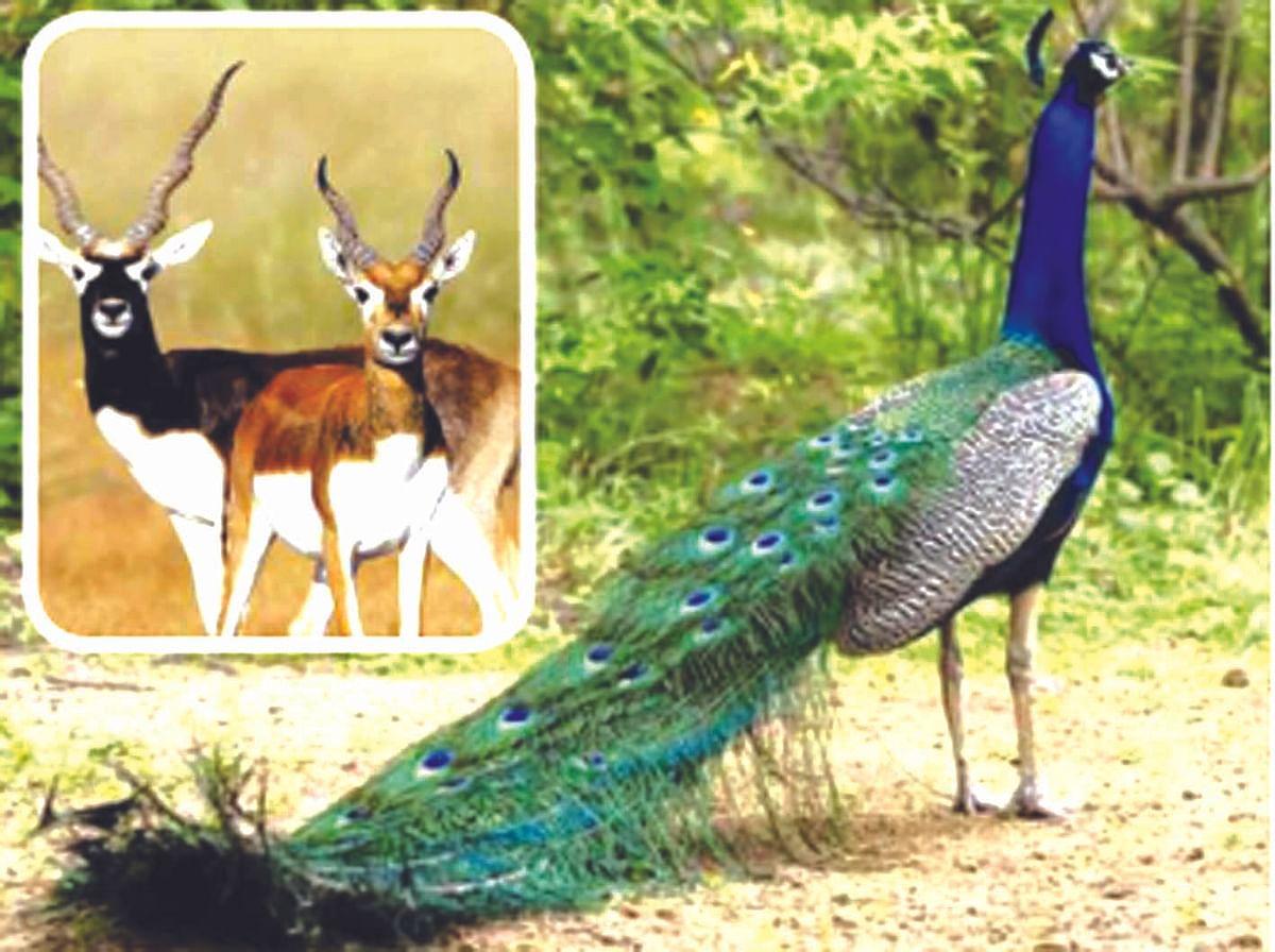 श्रीगोंदा : वन्यप्राण्यांच्या मांसाचे वाटेकरी कोण कोण ?