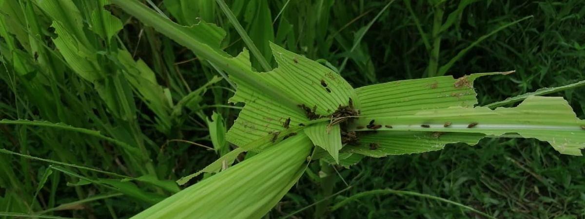 रांजणगावात मका पिकावर नाकतोडे सद्दृश्य किडीचा प्रादुर्भाव