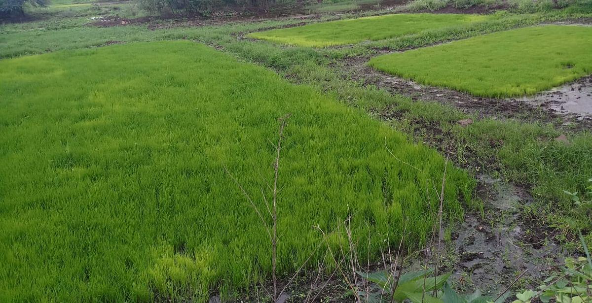 इगतपुरी : पावसाने पुन्हा दडी मारल्याने भात आवण्या रखडल्या