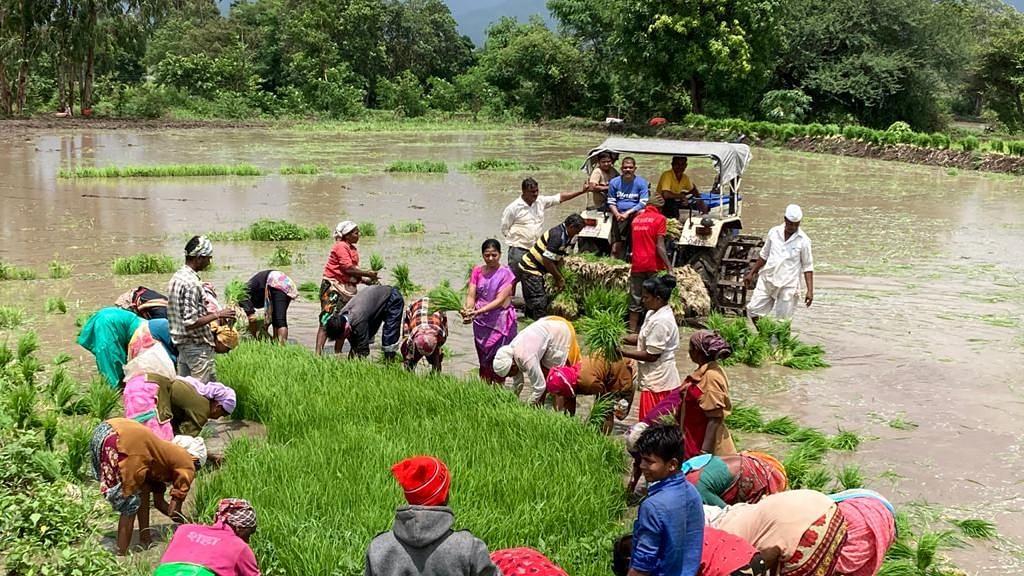 इगतपुरीच्या पूर्व भागात पावसाअभावी भात शेती संकटात