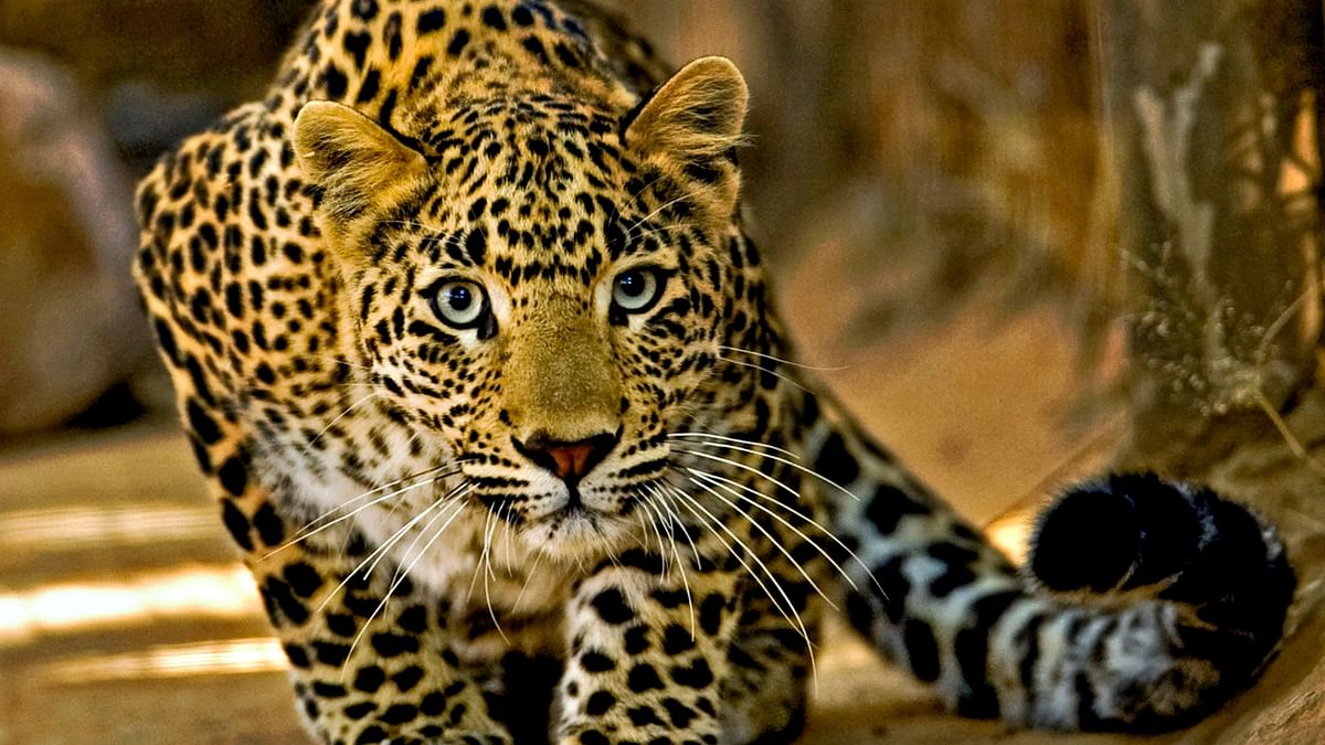 Leopard cub entrapped in Palse