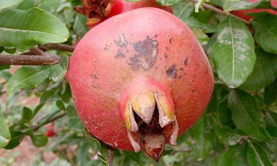 डाळिंब बागांवर तेल्या रोगाचे आक्रमण