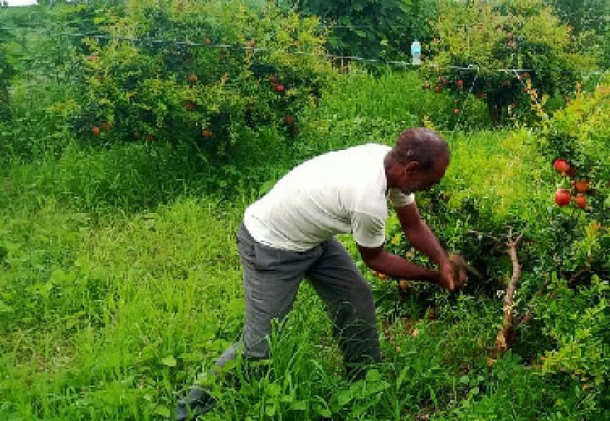 तेल्या रोगाला वैतागून शेतकर्याने डाळिंब बाग तोडली