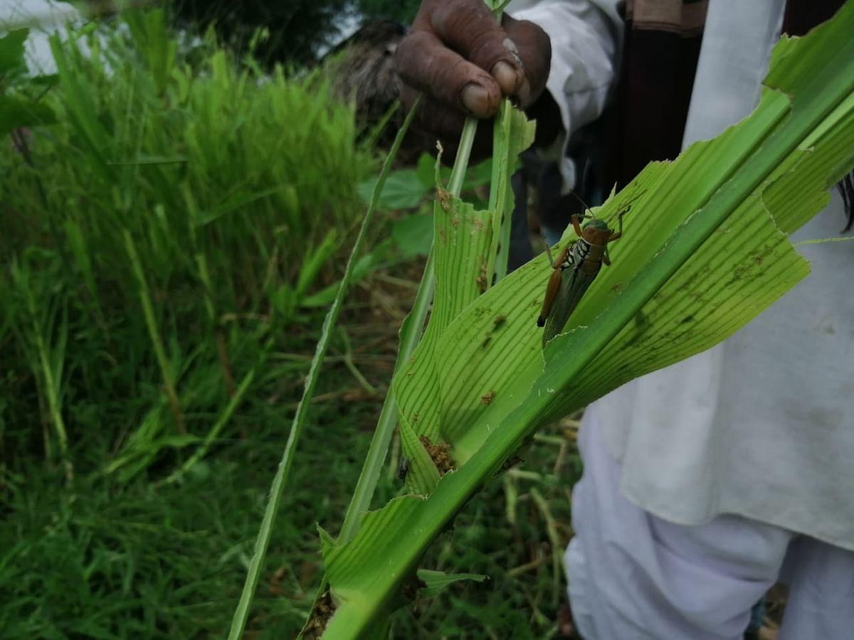 विजय उदावंत य़ांच्या शेतातील मका पिकाची नाकतोडे सदृश्य किडीने केलेली नासाडी