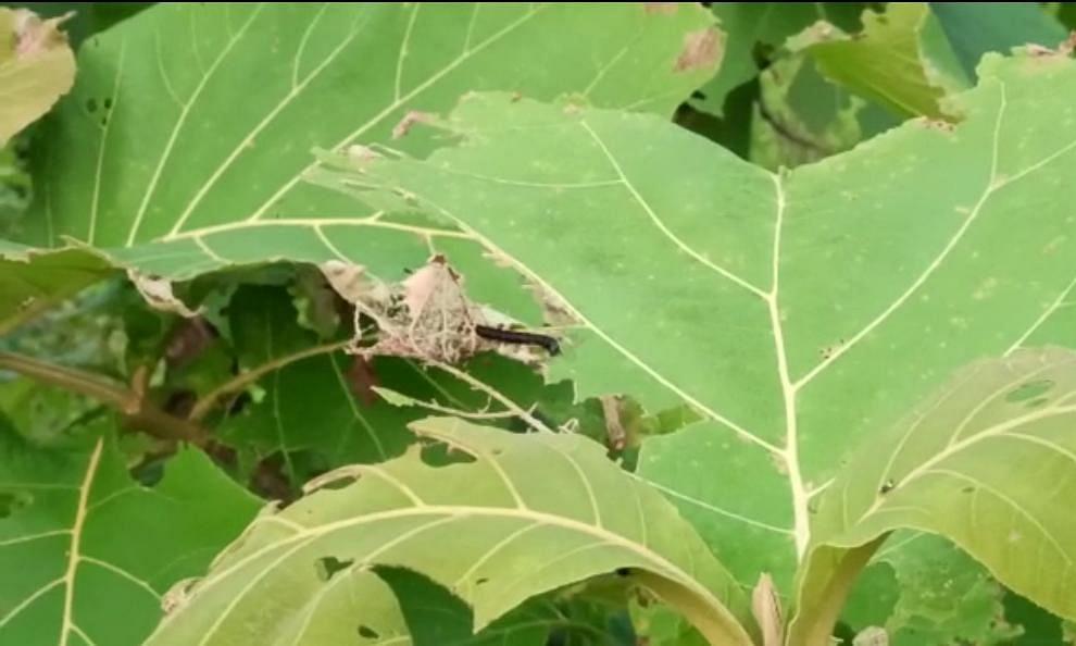 जळगाव : सातपुड्यातील सागवान वृक्षांवर अळ्यांचा प्रादुर्भाव