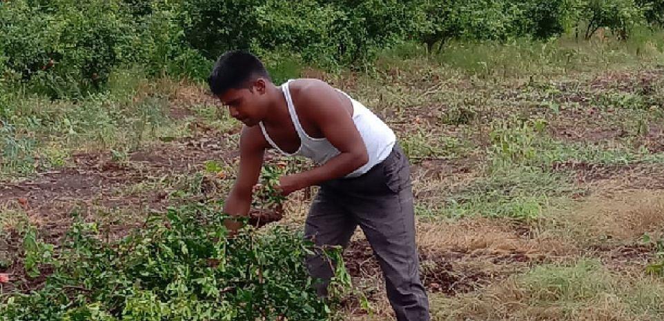 डाळिंब बागांवर तेल्या रोगाची सक्रांत