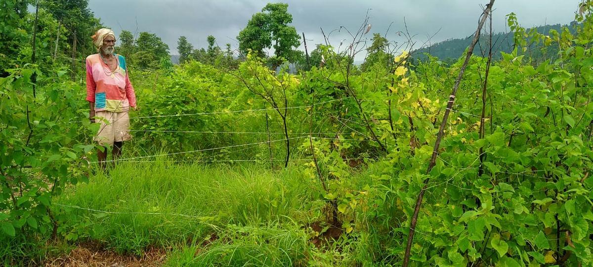 हरसूल : दहा एकरावर फुलविली करटोल बाग