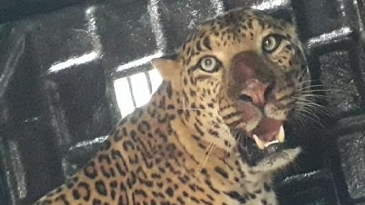 Two leopard trapped