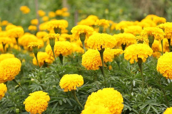 करोनात बहरली झेंडूची फुले