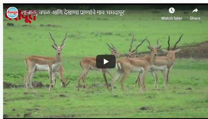 लाजाळू, चपळ आणि देखण्या प्राण्यांचे गाव 'ममदापूर-राजापूर'