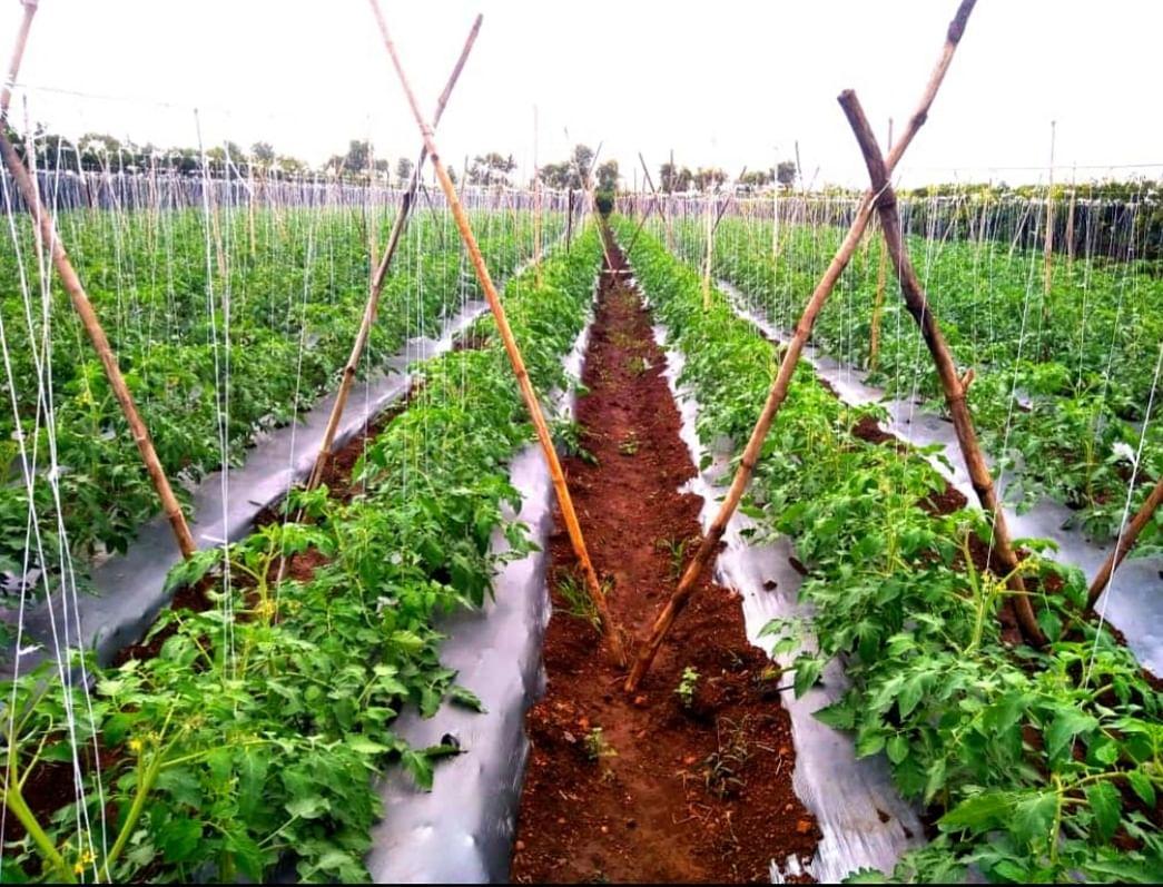 संततधार पावसामुळे टोमॅटो पिकांवर संक्रांत