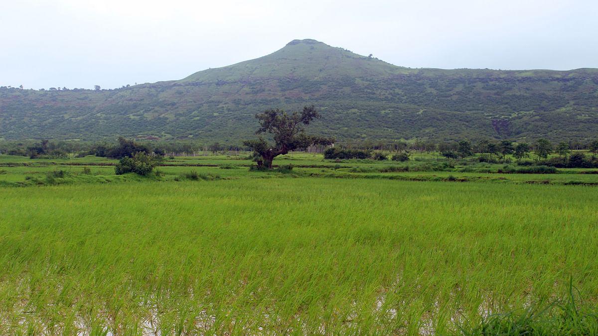भात शेती बळीराजाला तारणार