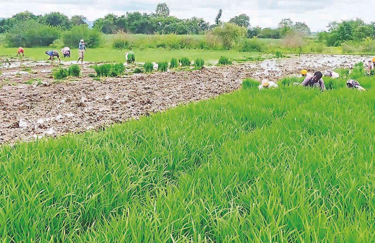 दिंडोरी : मुसळधार पावसाने शेतकरी सुखावला