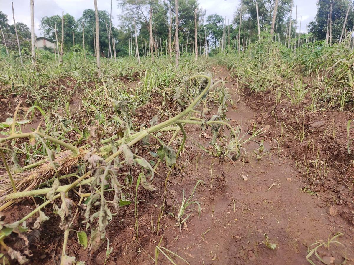 संततधार पावसामुळे टोमॅटो पिकांवर रोगांचा प्रादुर्भाव