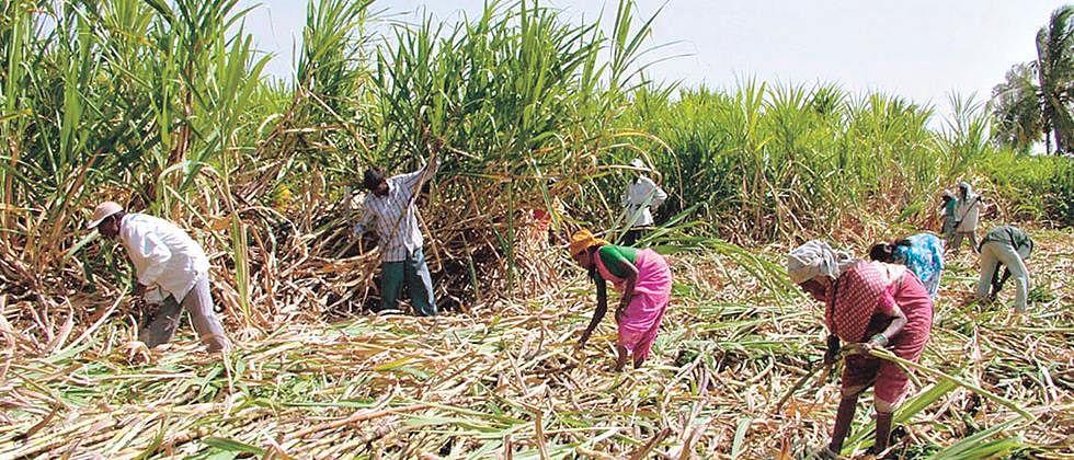 साखर कामगारांपाठोपाठ ऊस तोडणी कामगारही संपाच्या तयारीत