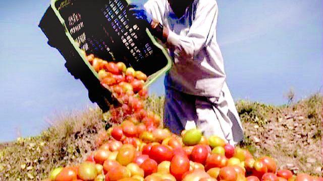 Video : टोमॅटोला हमीभाव द्या!