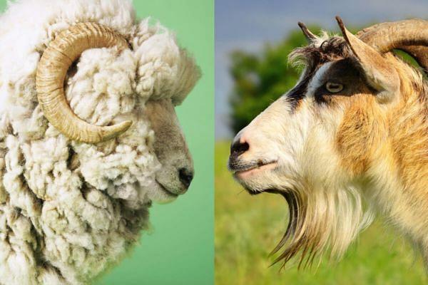 शेळी, मेंढीसह जनावरांच्या बाजारावरील बंदी उठवावी