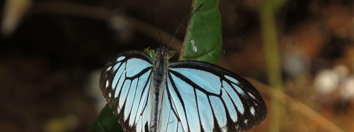 Blog : Nashik prepares for Big Butterfly Month
