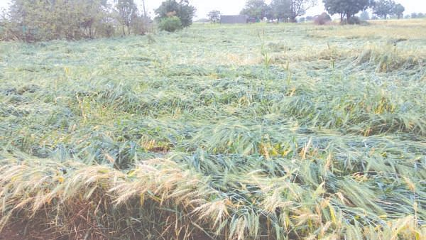 Heavy rains damage crop on 37829 hectares