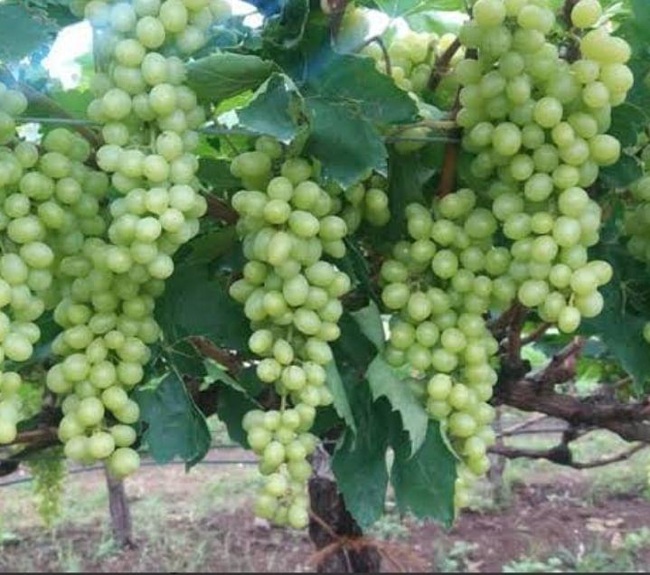 दिंडोरी : यंदा द्राक्ष हंगाम उशीरा सुरू होणार