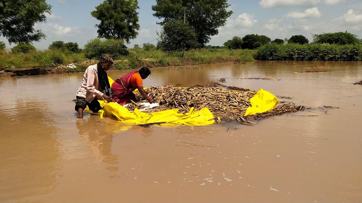 पावसामुळे बोधेगावच्या शेतकर्यांचे कणसं पाण्यात तरंगू लागले