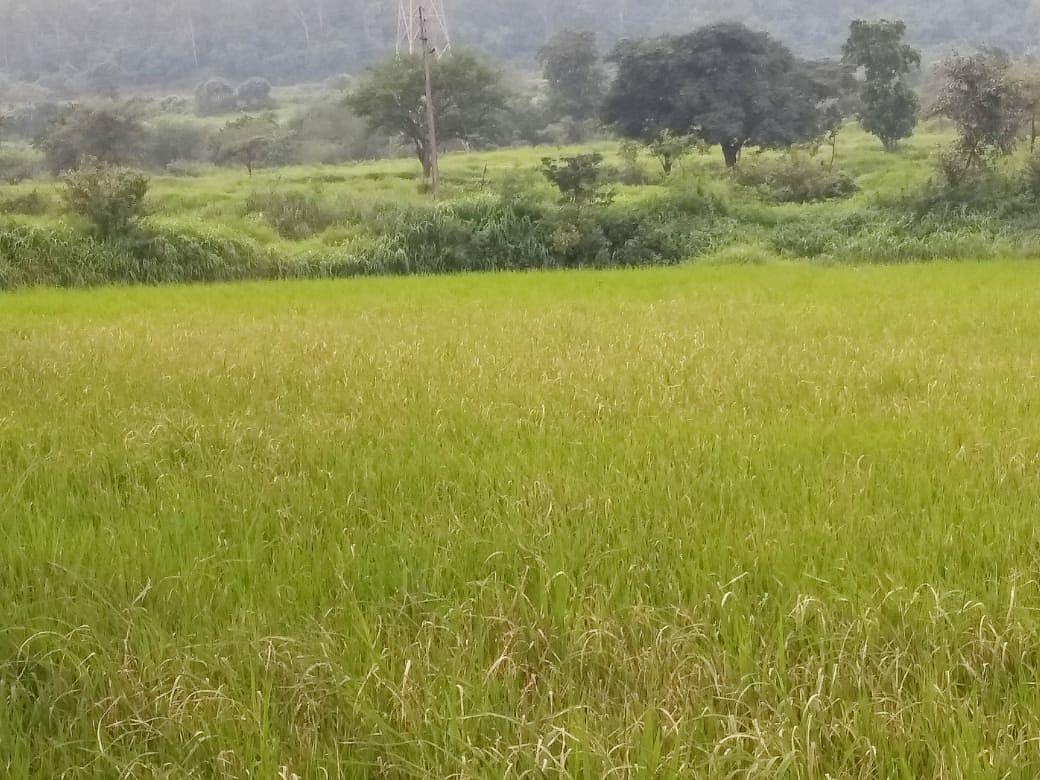 इगतपुरी : अतिरिक्त पावसाचा मारा अन रोगाचाही प्रादुर्भाव