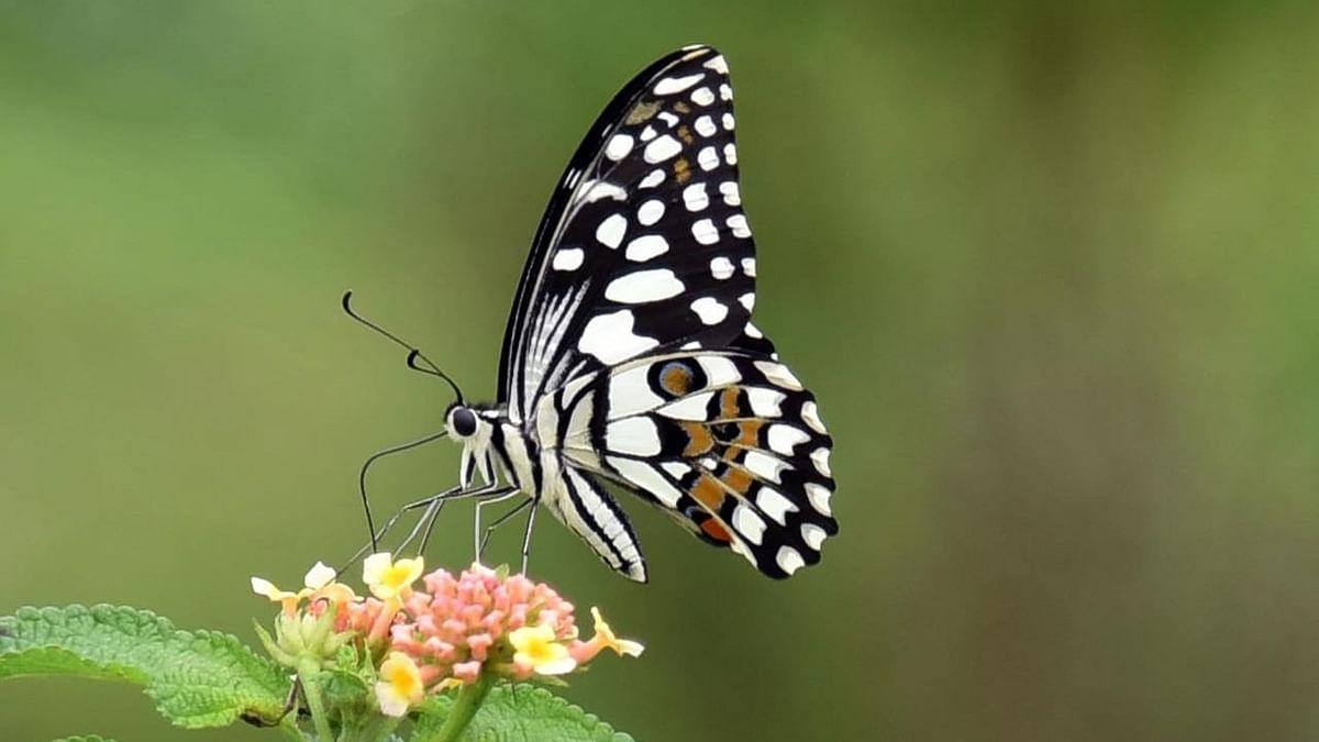 छान किती दिसते फुलपाखरू...!