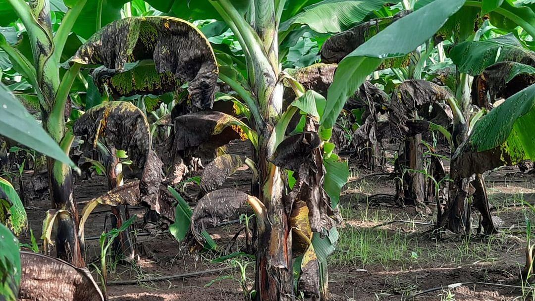 केळी पिकावर करपा रोगाचा प्रादुर्भाव