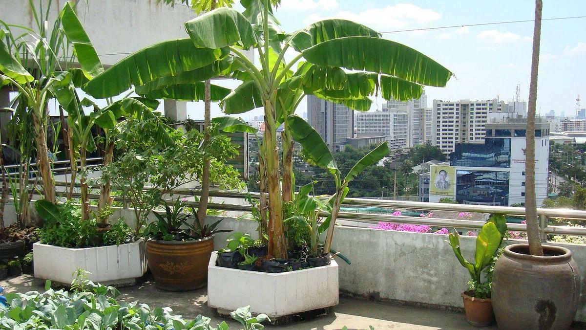 केळीचे झाड घरात असल्यास...