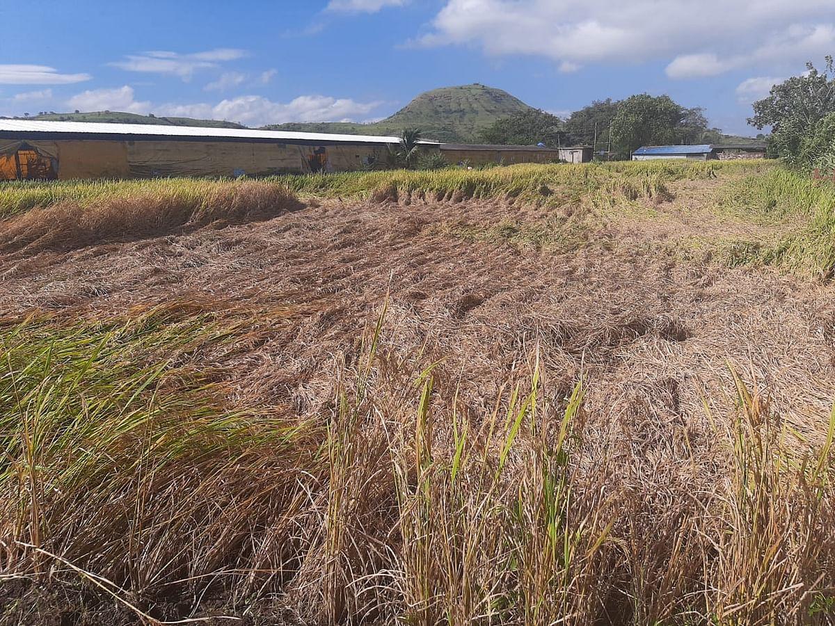 इगतपुरी : जोरदार पावसामुळे भातशेती पाण्यात