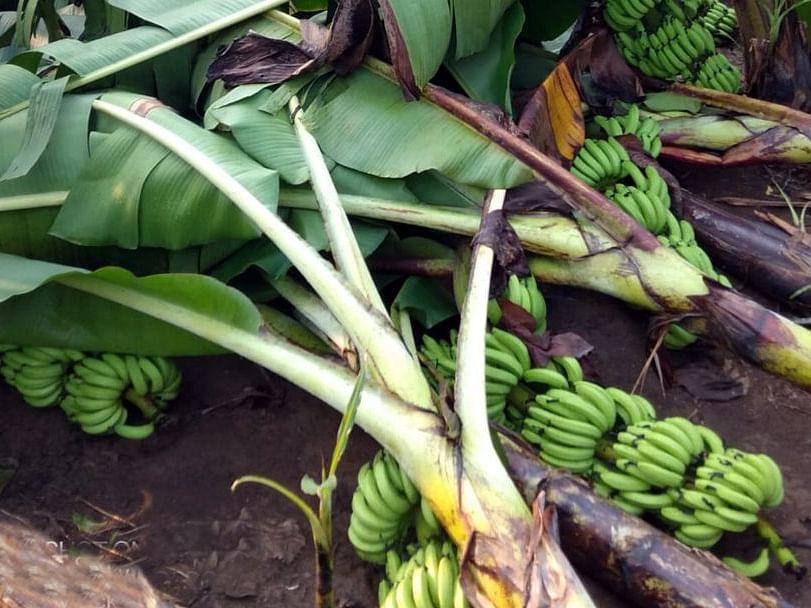 वादळाचा फटका : यावल तालुक्यात केळी भुईसपाट