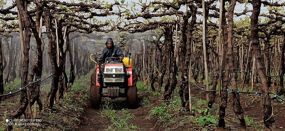 परतीच्या पावसामुळे द्राक्ष बागांवर बुरशीजन्य रोगाचा धोका