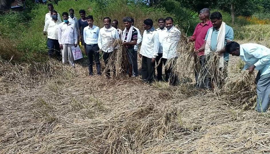 सुरगाणा : परतीच्या पावसाने भात पिक धोक्यात