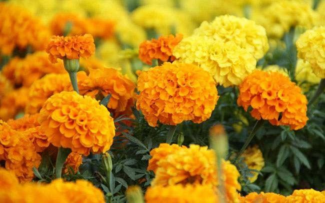 फुल उत्पादक शेतकरी हवालदिल