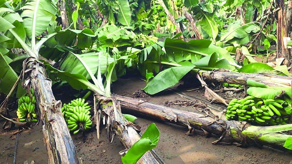 घोडसगाव येथे वादळी पावसाने 50 लाखांचे केळी पिकांचे नुकसान