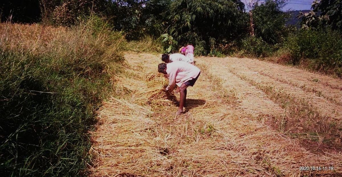 पेठ तालुक्यात भात सोंगणीला वेग
