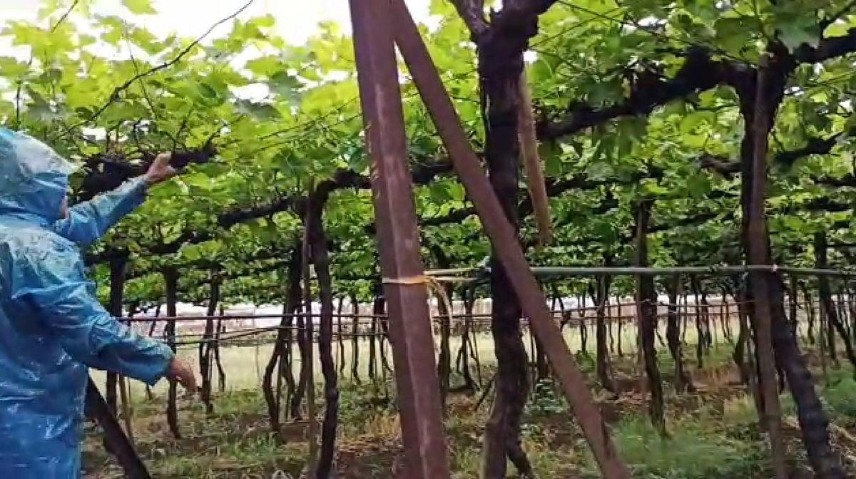 Video  निफाड : अवकाळी पावसाचा द्राक्षबागांना फटका