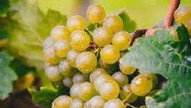 कांद्या नंतर आता द्राक्ष उत्पादकांची आर्थिक कोंडी