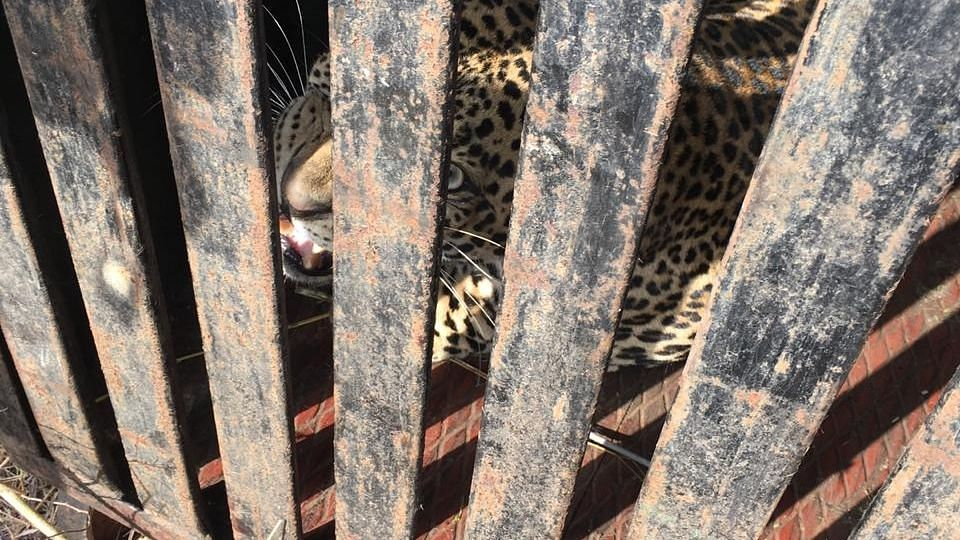 Leopard trapped at Chandgiri