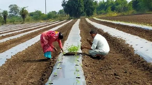 Tomato cultivation begins; to recoup kharif losses