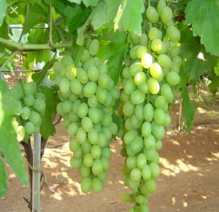 13000 plots registered for grapes export
