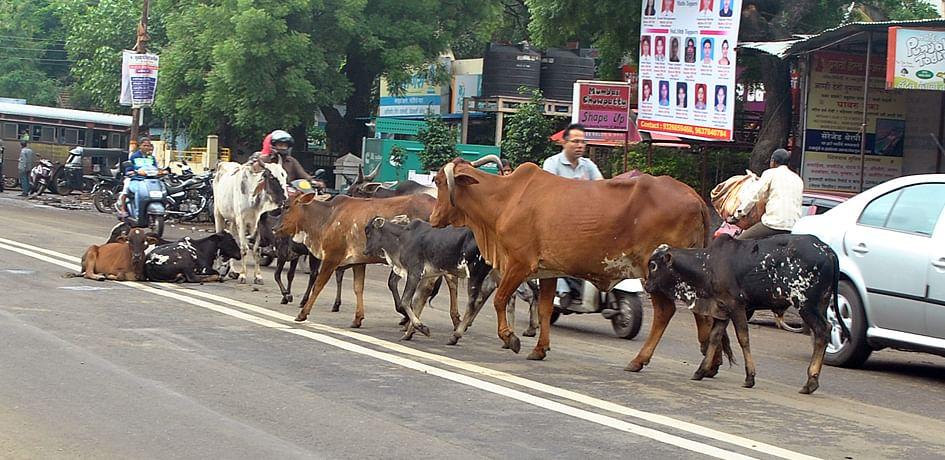 रस्त्यावर मोकाट जनावरे सोडल्यास मालकाला दंड !
