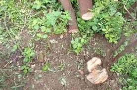 चंदन तोड आता 'कायदेशिर'; झाड ताेडण्याची बंदी मागे; लागवडीला मिळणार प्राेत्साहन