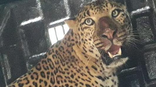 Leopard attacks girl in Igatpuri